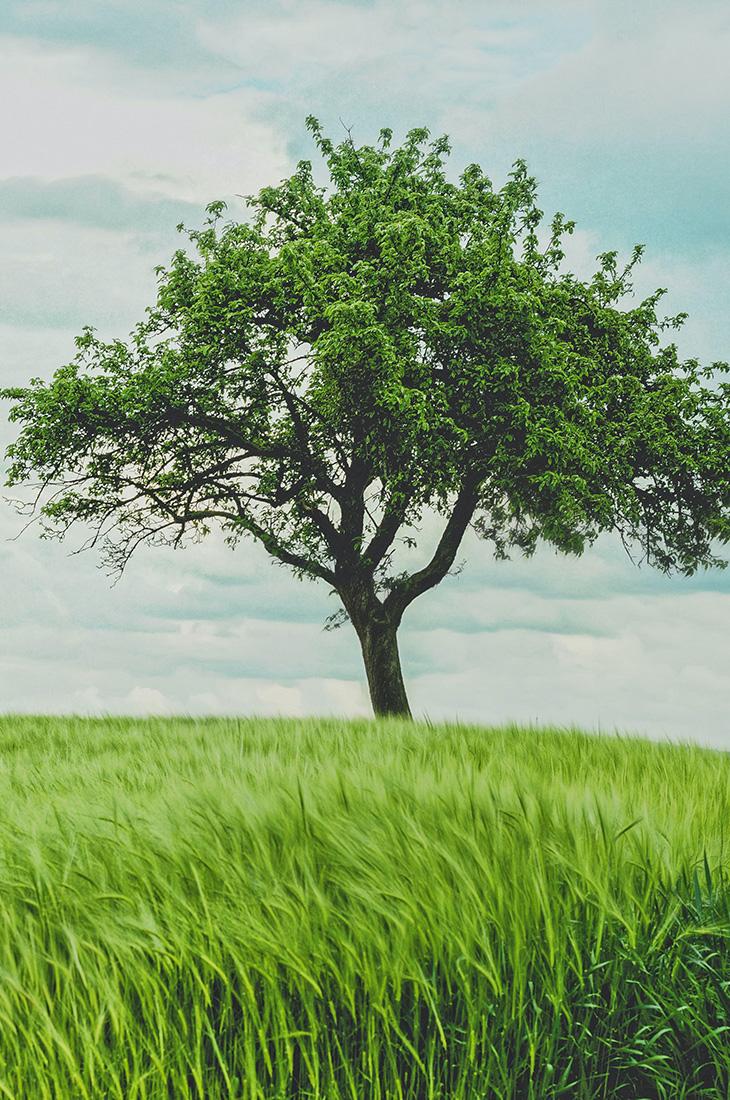 Besprechen von Krankheiten - kräftiger Baum steht alleine auf Wiese