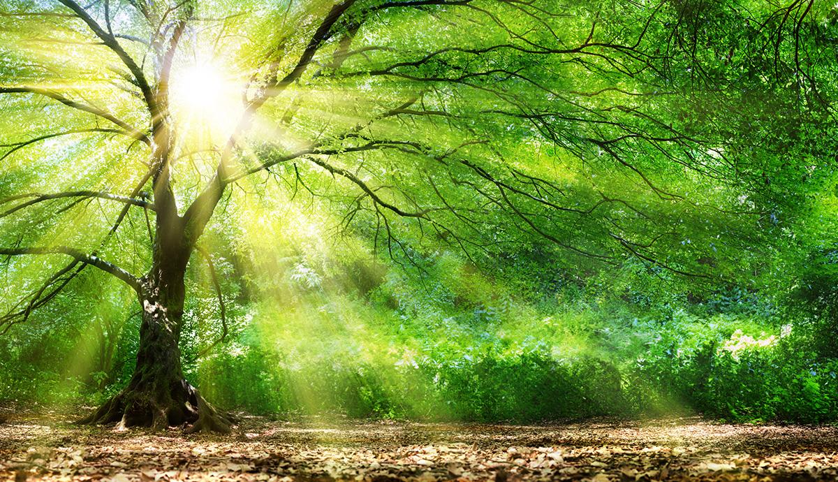 Besprechen von Krankheiten - Licht scheint durch starken Baum